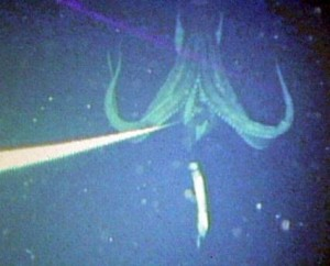 calamaro gigante