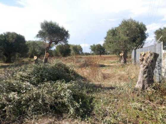 Vibo Valentia, tagliate piante d'ulivo a imprenditore Francesco Lopreiato