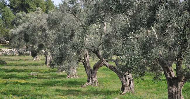 Anoia (Rc), rubano 25 quintali di alberi d'ulivo: 4 arresti