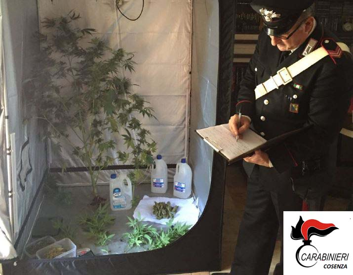 Coltivava piantine di cannabis in casa un arresto a for Piantine di case di piantagioni