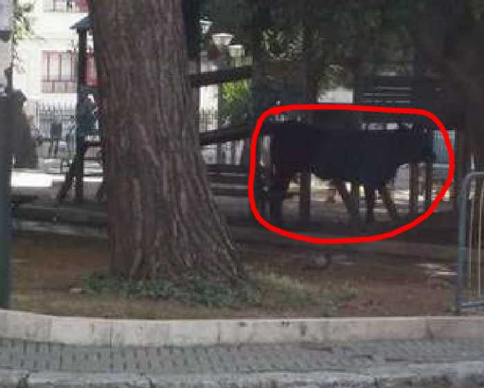 Panico a Reggio Calabria per un toro in centro. Abbattuto