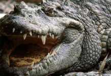 Ancora choc a Orlando, Florida: alligatore mangia un bimbo
