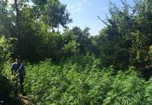 Piante di marijuana per 500 mila euro scoperte a Scalea