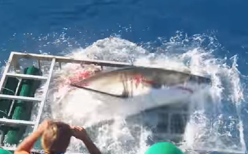 Lo squalo bianco mentre riesce a liberarsi dalla gabbia del sub