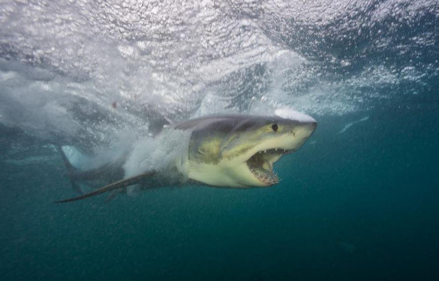 Lo squalo bianco fotografato da Brian Skerry