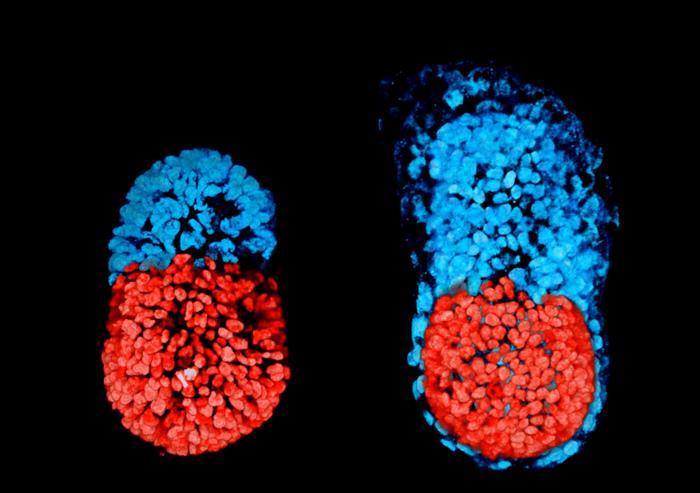 embrione artificiale