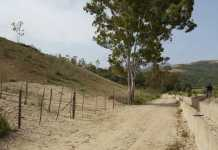 eucalipto paludi