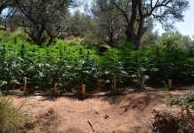 piantagione marijuana vibo