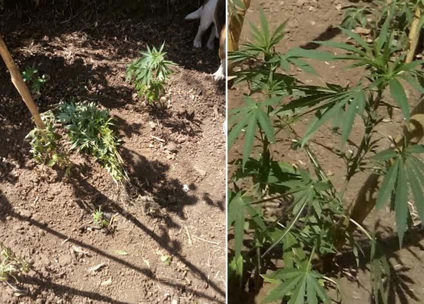 piantagione cannabis indica marijuana