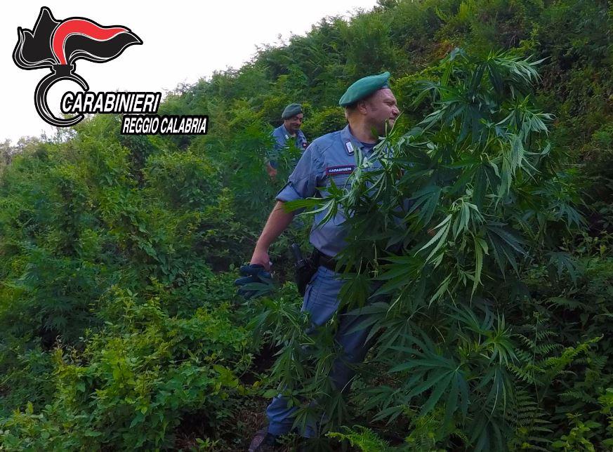 piantagione marijuana parco aspromonte