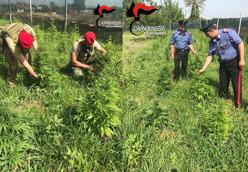 piantagione marijuana cittanova