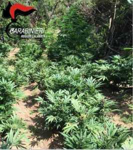 Piantagione canapa marijuana
