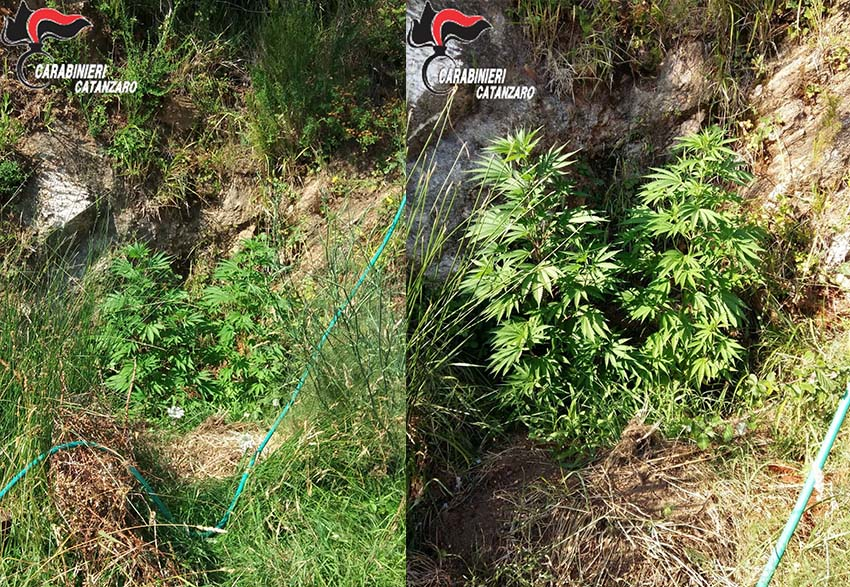 Coltivava in serra 160 piante di cannabis, arrestato