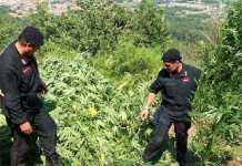 carabinieri piantagione marijuana