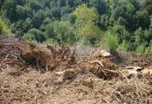 ceppi di alberi tagliati Maiera