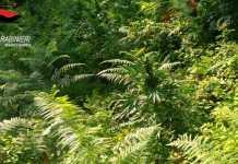 piantagione di marijuana