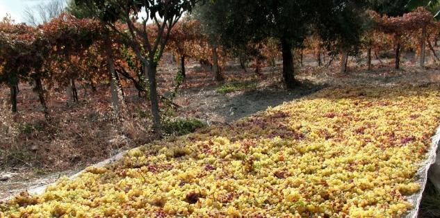 Raccolta di uve del Greco di Bianco