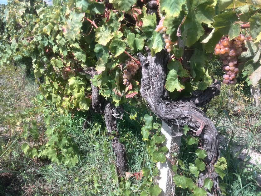 vitigni Greco di Bianco