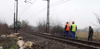 Gregge pecore binari ferrovia