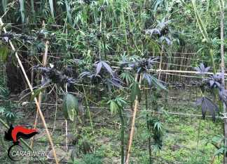 La piantagione di marijuana rinvenuta dai carabinieri a Locri