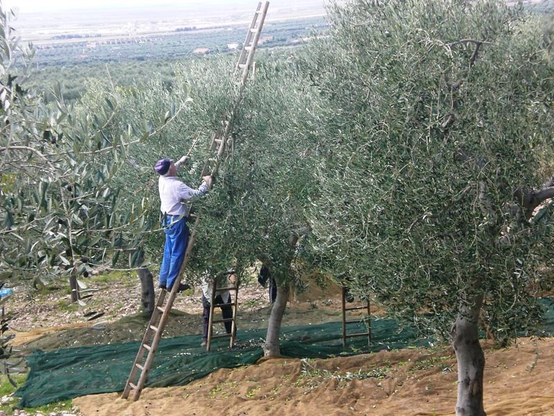 Cade da albero di Ulivo e muore a Longobucco