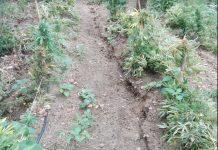piantagione marijuana nicotera joppolo