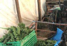 Sette arresti dei carabinieri per coltivazione droga