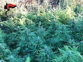 piantagione marijuana Locride