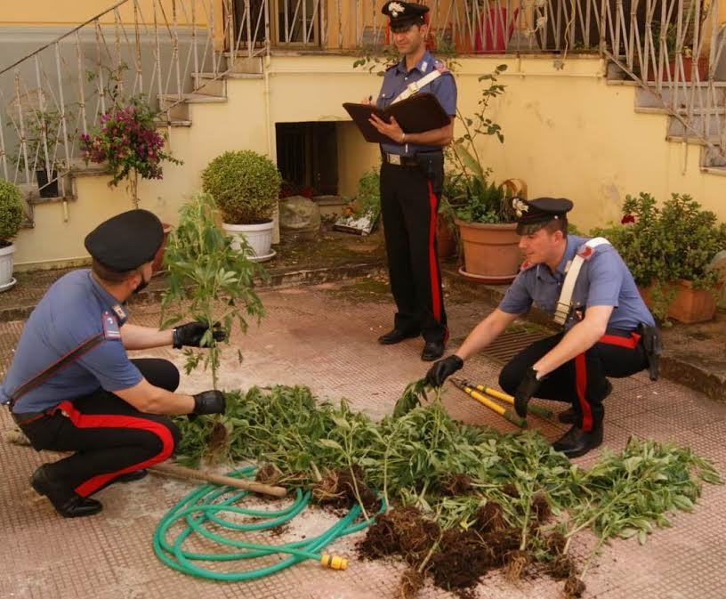 piantagione marijuana Palmi