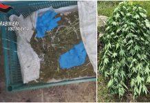 piantagione marijuana joppolo