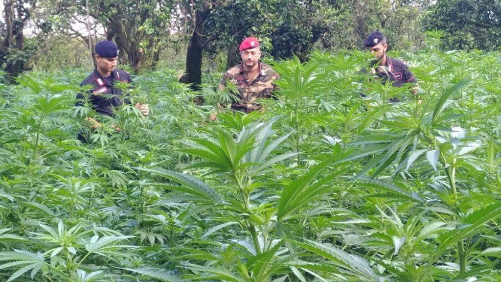 piantagione marijuana Candidoni