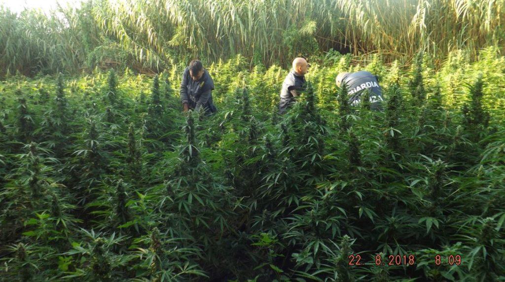 piantagione marijuana finanza