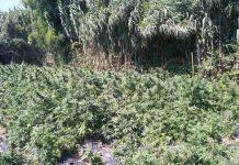 piantagione marjiuana candidoni