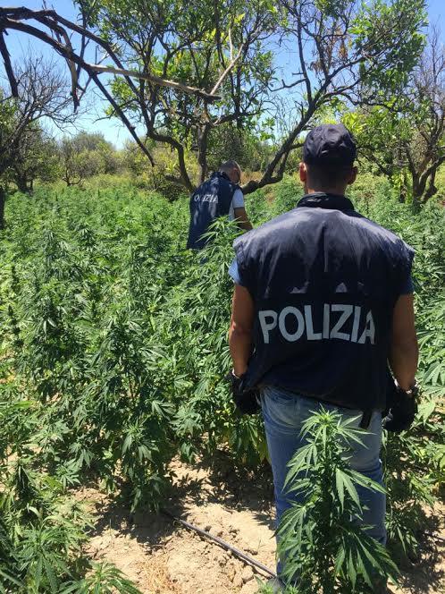 piantagione marijuana polizia