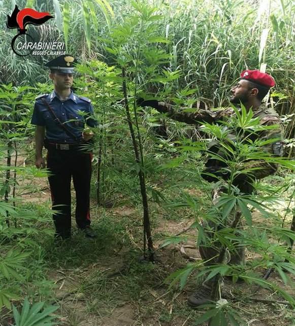 Trovato dentro una piantagione di canapa, arrestato